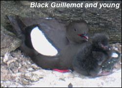 Black Guillemotl