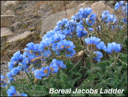 Boreal Jacobs Ladder