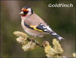 Gildfinch