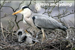 Heron and young