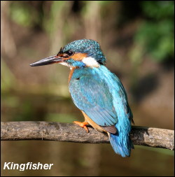 Kingfisher Adult