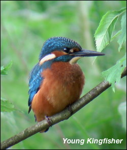 Kingfisher Young