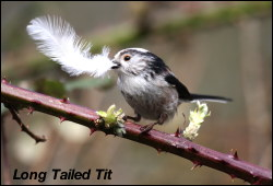 Long Tailed Titl