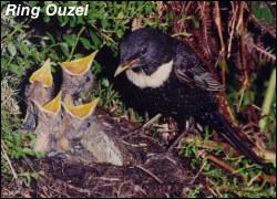 Ring Ouzel