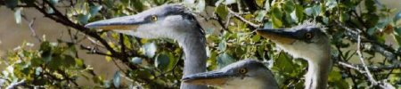 Young Herons