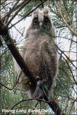 Young Long Eared Owl 2