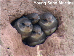 Young Sand Martins