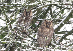 Long Eared Owls snow