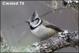 Crested Tit 13