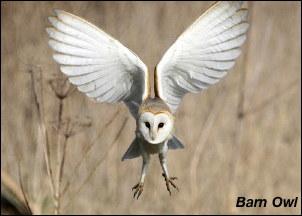 Barn Owl13a