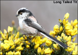 Long Tailed Tit13