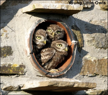 3 Little Owls
