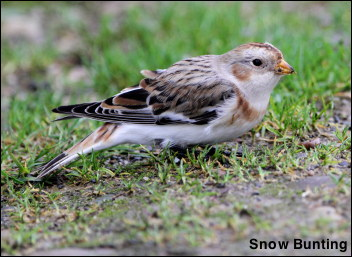 Snow Bunting 13