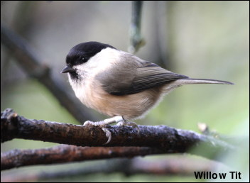 Willow Tit 13