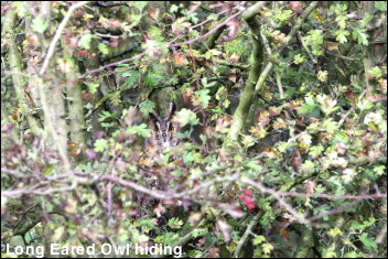 Hidden Long Eared Owl