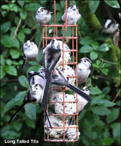 Long Tailed Tits14