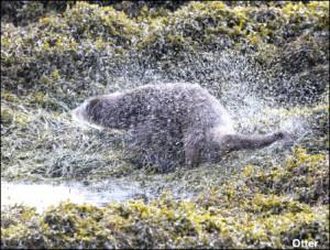 Otter14
