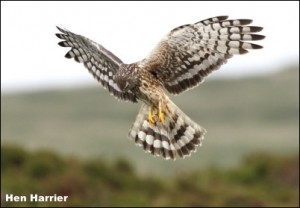 Hen Harrier14