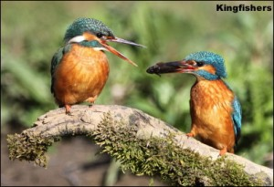 pair Kingfishers
