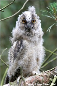 Long Eared Owl 14