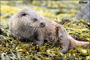 Otter mull