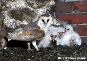 BarnOwl with young