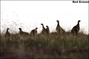 Red Grouse14