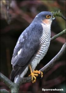 Sparrowhawk14