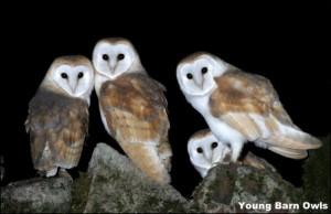 Baran Owl Young 14a