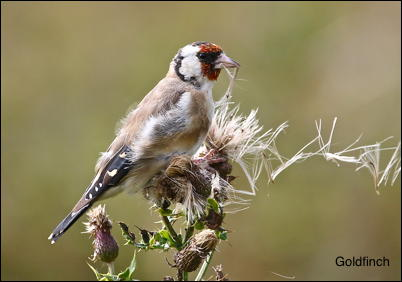 Goldfinch15
