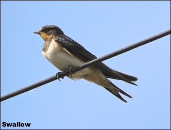 Swallow15
