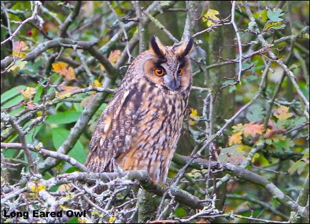 LE OWL 15