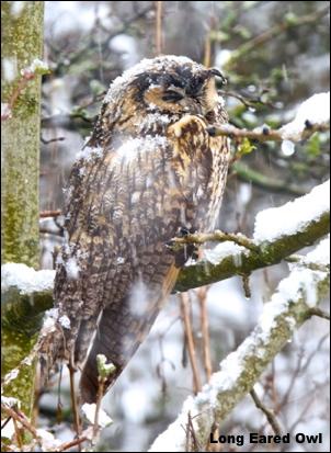 L E Owl snow