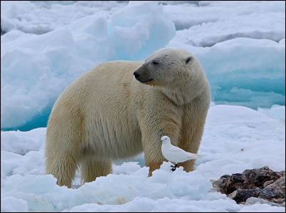 Polar Bear16