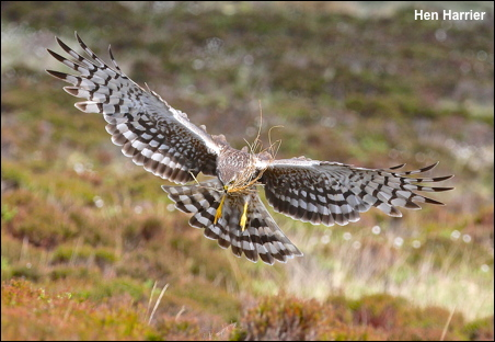 Hen Harrier Aug