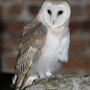 Barn Owl young2