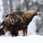 Golden Eagle 5