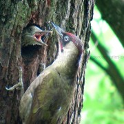 Green Woodpecker2