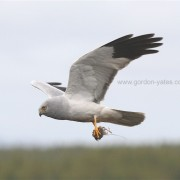 Hen Harrier 3
