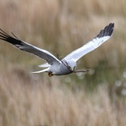 Hen Harrier 4