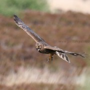 Hen Harrier female 2
