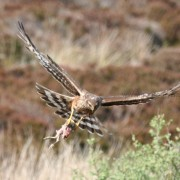 Hen Harrier female