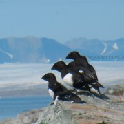 Little Auk2